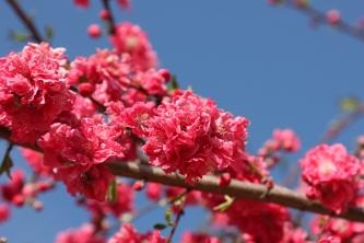 Frisco Texas Spring Blossoms