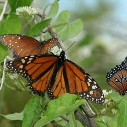Frisco Butterflies