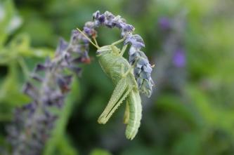 Grasshopper - Photography by N. Faulkner