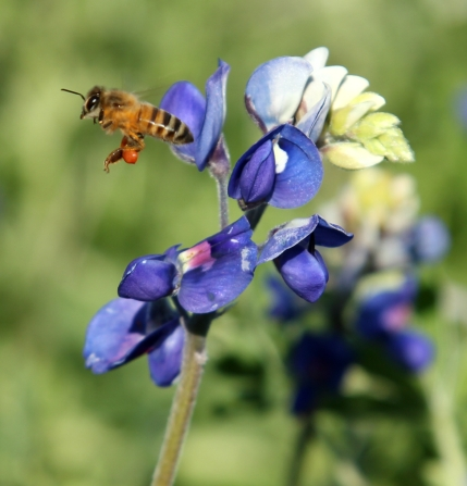 Plano Texas Bees and Bluebonnets