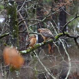 Mating Pair of Sharp-Shinned Hawks near Broken Bow Lake and Beavers Bend Park in Oklahoma - Photography by Natalia Faulkner (1)