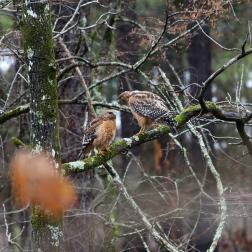 Mating Pair of Sharp-Shinned Hawks near Broken Bow Lake and Beavers Bend Park in Oklahoma - Photography by Natalia Faulkner (1)